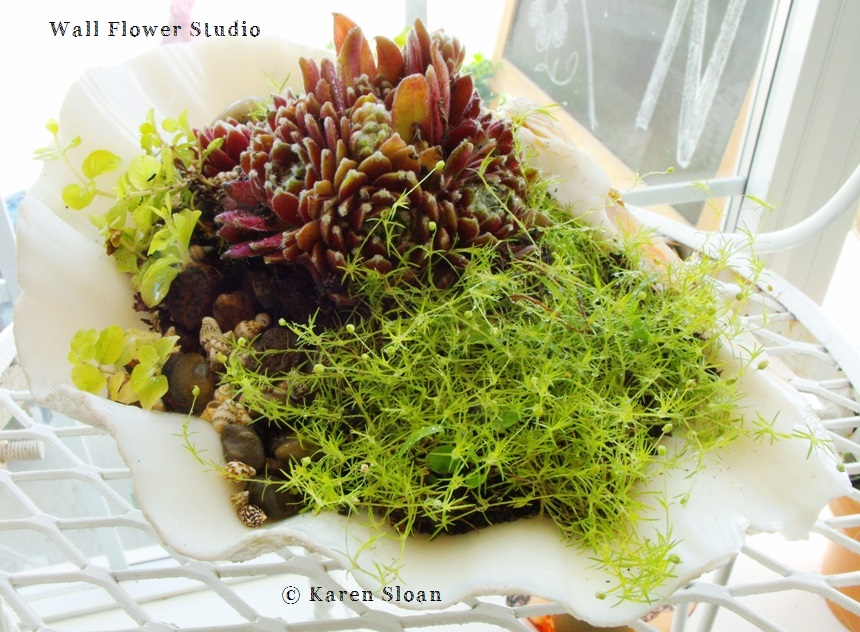 Conch shell with succulents and Irish moss