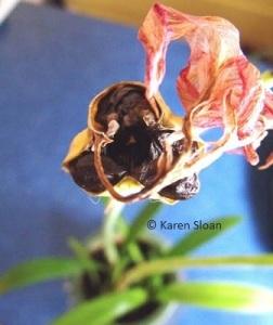 Amaryllis Seed Pod opened wfs (1)