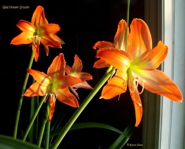 Amaryllis vittatum - Wall Flower Studio 2016