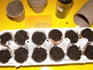 April 2014 Wall Flower Studio growing Basil - seeds in eggshells - Karen Sloan