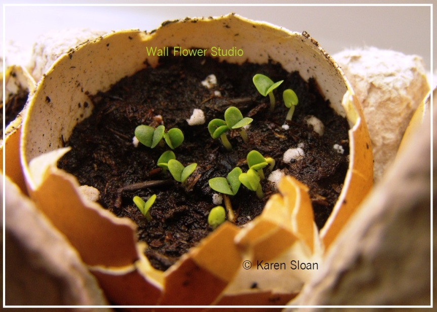 Basil herbs seeds sprouting in eggshell - seedlings at Wall Flower Studio - Copyright Karen Sloan