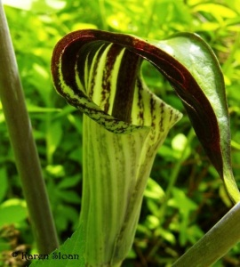 Arisaema triphyllum - Wall Flower Studio