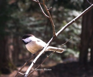 Chickadee at Wall Flower Studio - copyright Karen Sloan