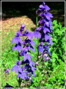 Blue cardinal flower