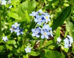 forget me nots wfs