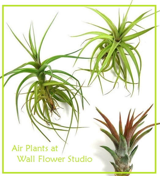 air-plants-for-blog-wfs