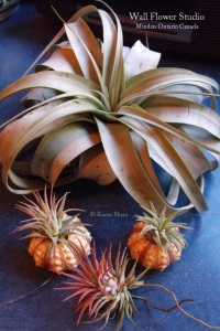 air-plants-sputniks-and-xerographica