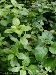 An abundance of Lemon balm!