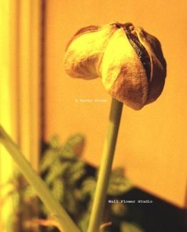amaryllis-seed-pod-opening-copyright-karen-sloan-wall-flower-studio