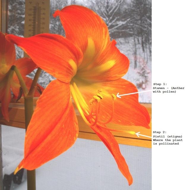 pistil-and-stigma-for-pollinating-the-amaryllis-karen-sloan