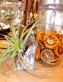 dried-orange-slices-at-wfs-and-air-plant-fb
