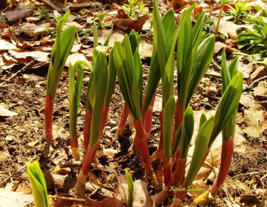 Wild leeks, aka ramps – Foraging for local food is always in season