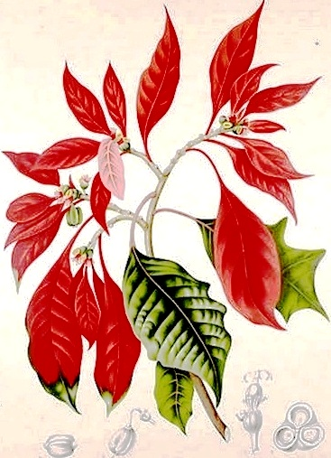 Poinsettia – Not my favorite holiday plant, but they do get a bum rap.